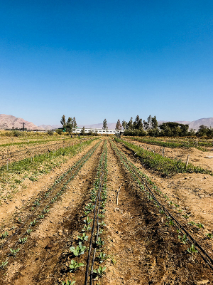 Rows of drip-irrigated young cabbage plants in between rows of avocado saplings