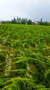 Growing maize (corn) flattened by hailstorm, heavy rains and flooding, EWCV July 2017