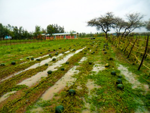 Field of water melons after damage by hailstorm, EWCV July 2017